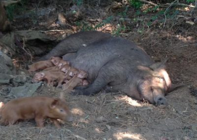 Mama hog and piglets