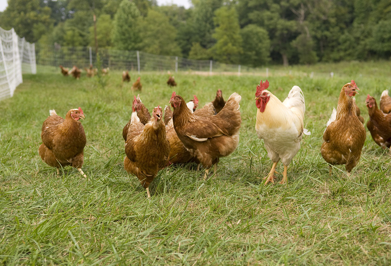 Pastured Poultry & EGGS