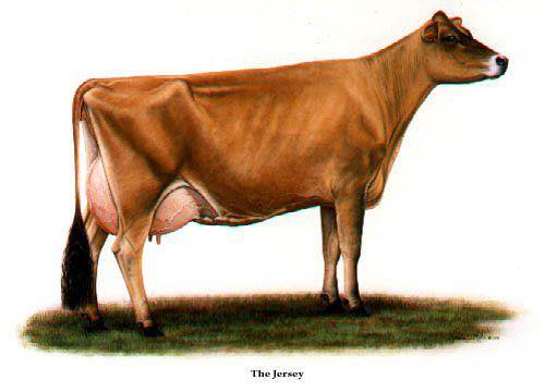 Registered Jersey Bull, Cows and calf for sale.